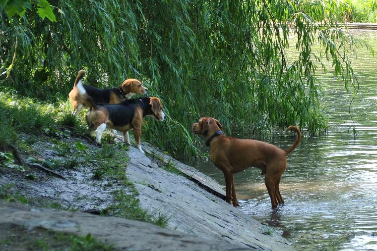 Kutyák a Városligeti-tónál