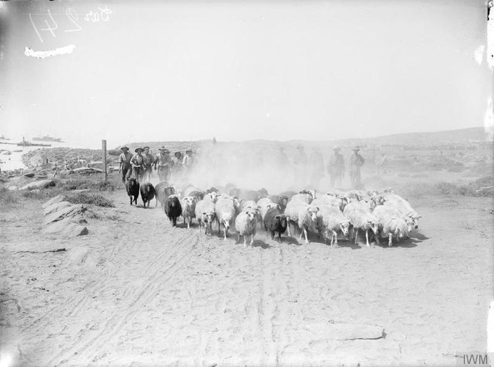 A kalapjukról könnyen felismerhető ausztrál egységek a Gallipolihoz közeli partszakaszon 1915 áprilisában, épp birkákat hajtanak végig a homokon. Gallipoli annak ellenére lett az önálló ausztrál államiság kezdetének egy fontos mérföldköve, hogy az országban szinte minden településen találni olyan emlékművet, amire az ütközetben elpusztult lakosok nevét vésték.