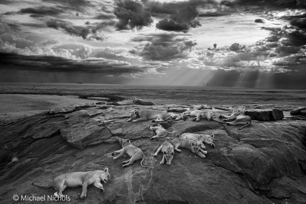 Michael Nichols ezzel a képpel azt szerette volna megmutatni, milyen lehetett az oroszlánok élete, mielőtt végleg kihal a veszélyeztetett faj. Fél évig követte az állatokat a Szerengeti Nemzeti Parkban; ez a legjobban sikerült fotója. Akár a Disney is használhatná borítóképnek, ha élőszereplős horrorfilmet csinálna az Oroszlánkirályból. Ez a kép kapta az idei pályázat nagydíját.