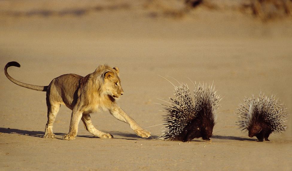 Az oroszlán nem ismeri a metrikus rendszert, de tudja, hány kiló, mekkora erővel tud odacsapni a mancsával, és hogy körülbelül hány kilokalória táplálékot nyerne ki a szúrós kis ellenfélből. Aki viszont jól tudja, hogy támadás esetén megvédik majd a szúrós tüskéi. A kép címe: halálos érintés