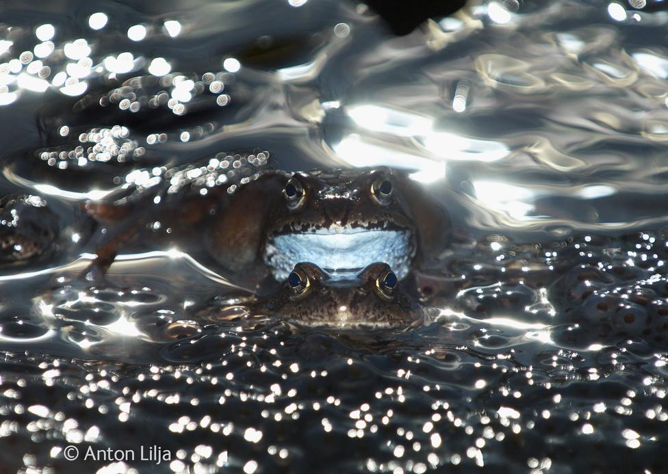 Nézzék a fény játékát a vízen! Milyen szép a szürke és fekete árnyalatok finom váltakozása, amint megkapó módon keveredik a sötétkék ragyogó természetességével! Milyen szép a víz fodrozódásának leheletfinom textúrája! És nézzék, ott hasal az egésznek a közepén két párzó béka!