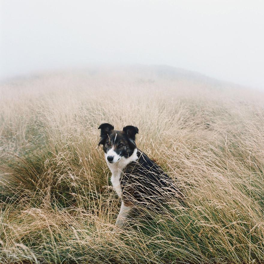 Ő Tshinka, egy pásztorkutya, akit a gazdái kecskék őrzésére használnak.