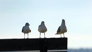 Csirkebőrevő sirályok randalíroznak Óbudán