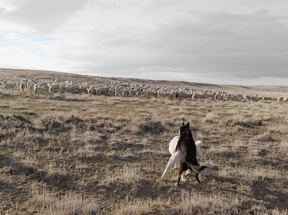 """""""Nevada államban a mai napig több marha él, mint ember. """"                         Juhászkutyák, Bitter Creek, 2010"""