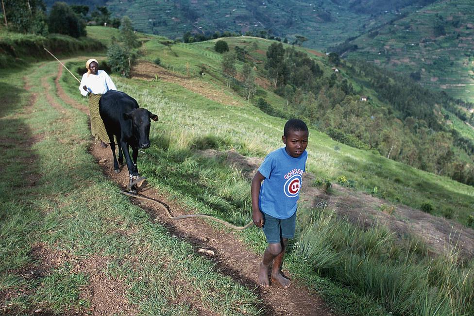 Hazafelé Angelo vizet merít a domb egyetlen forrásából. Ő gondozza a család egy szem tehenét, de besegít anyjának a maracuja-szüretelésben is. A nap végén énekel a méheknek, hogy visszatérjenek a kaptárba.