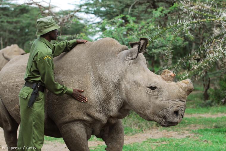 Fatu, az egyik nőstény szélesszájú rinocérosz a kenyai rezervátumában