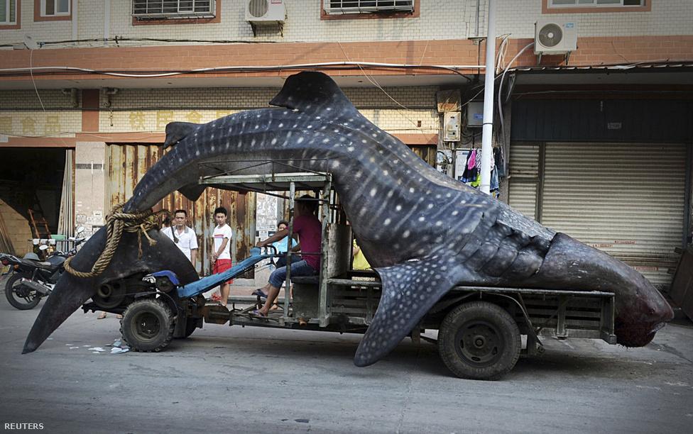 A döbbent járókelők tekintetétől kísérve egy hatalmas cetcápát visz haza egy kínai halász a kínai Fudzsian tartományban augusztus elején.