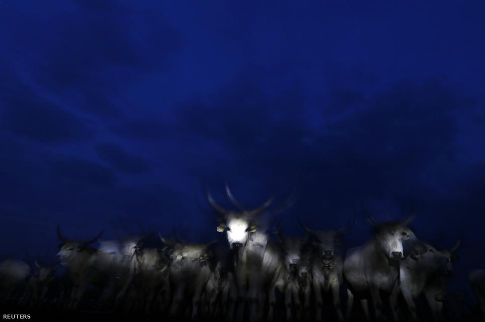 Zseblámpák fényénél menetelő szürkemarhák a Hortobágyon. A kép bekerült a Reuters év képei válogatásába is.