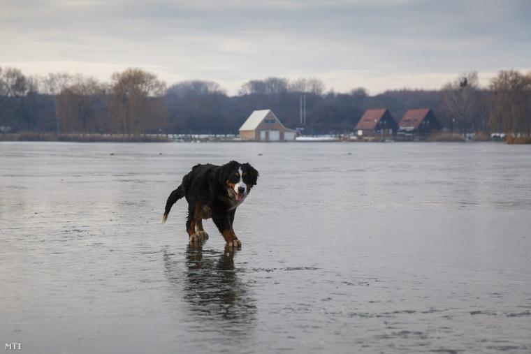 Kutya sétál Nagykanizsán, a befagyott csónakázótó jegén.