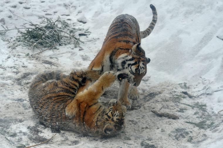 Tigrisek a behavazott Fővárosi Állat- és Növénykertben. (2012.)