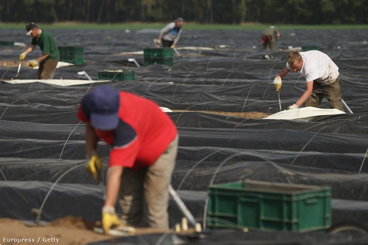 Bevándorlók dolgoznak egy mezőgazdasági telepen a németországi Klaistowban