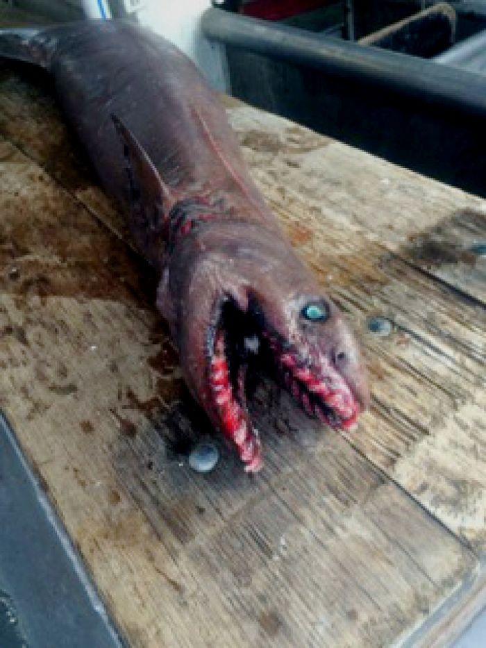 sharkfrilled