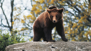 Csokimérgezésben haltak meg a medvék