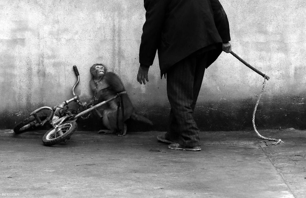 Természetfotó, egyedi kategóriában ez a kép lett kiemelt, amin épp egy cirkuszi majmot tanít be az oktatója.