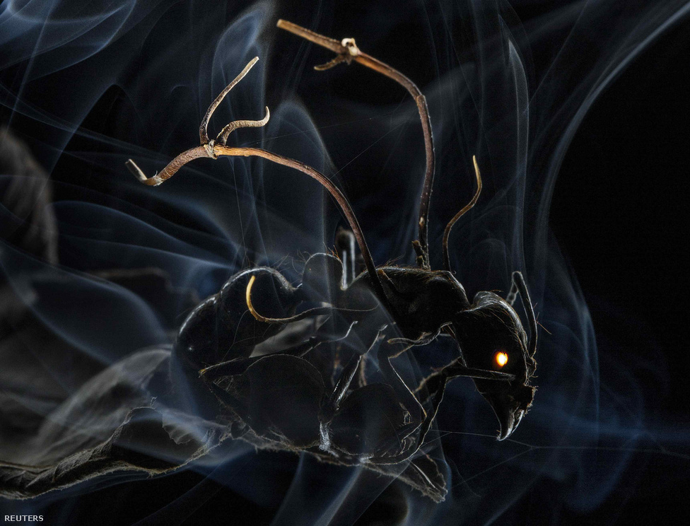 Ezen a lenyűgöző felvételen épp egy gomba spórája hatol be az erdei hangya agyába. A spóra átveszi az irányítást a rovar teste felett, és arra kényszeríti, hogy a közösségét elhagyva vigye a spórákat magas fák tetejére, ahol megtelepedhetnek. Anand Varma felvétele természet kategóriában kapott első díjat.