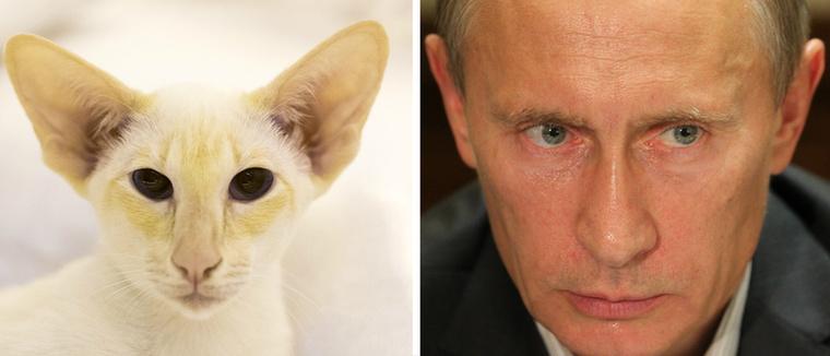 Tény, hogy Vlagyimir Putyin arcberendezése nagyon hasonlít a kopasz szfinxek és a sziámi macskák egyes példányaira.