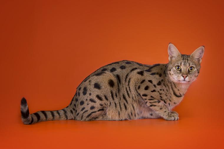 Nos, ez a szavanna macska