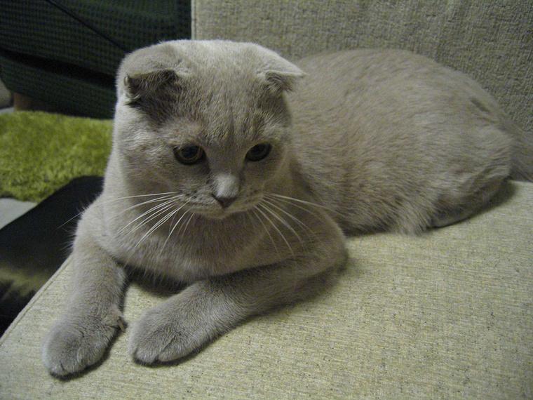 A skót lógófülű macska most igazi divatcica, tele van velük az internet, és a sztárok is előszeretettel szereznek be ilyen fajtát.