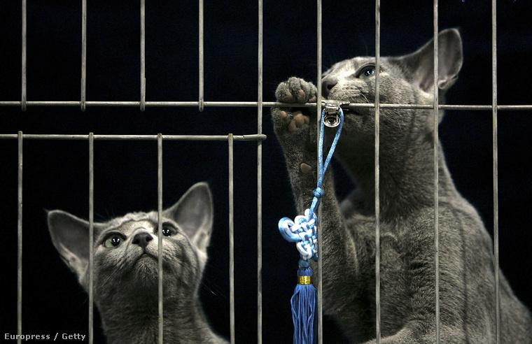 Ez pedig két orosz kék cica