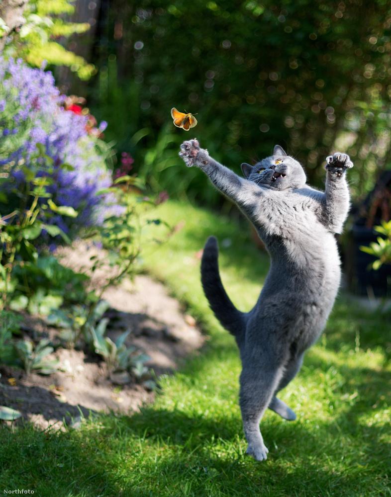 Általában nagyon jó természetű macska.