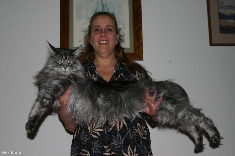 Ez itt Stewie, ő volt a világ leghosszabb macskája, 123 cm hosszú volt