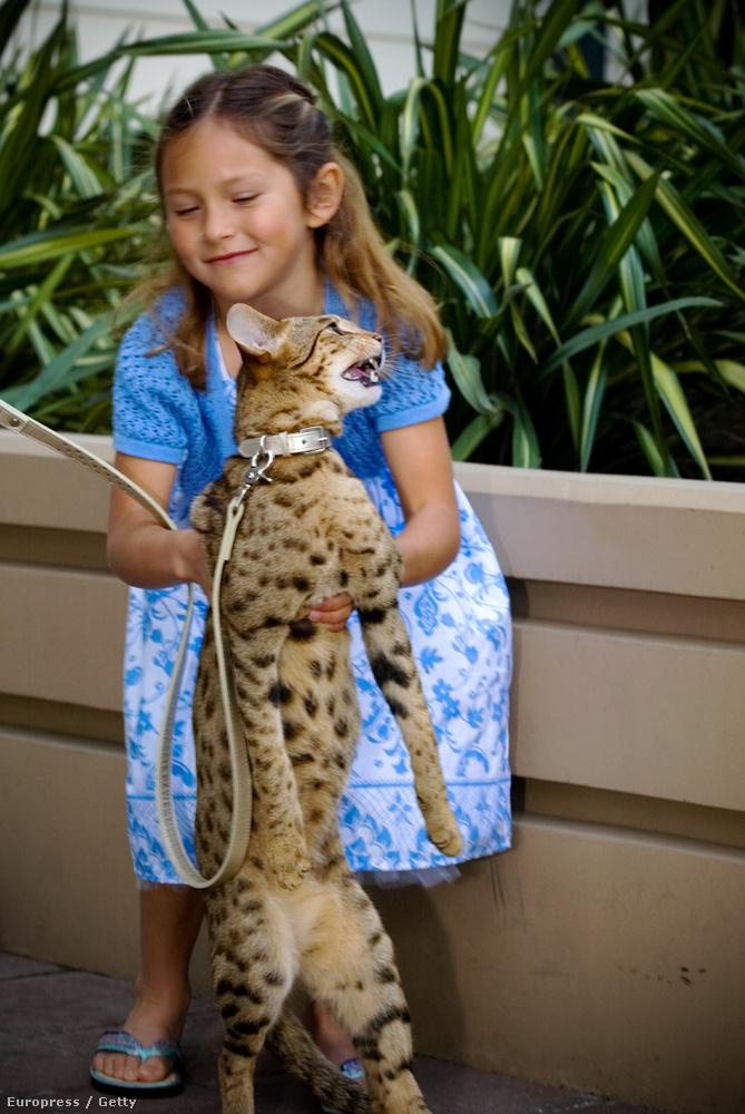 A hipoallergénnek mondott macskák vélhetően szavanna macskák voltak valójában.