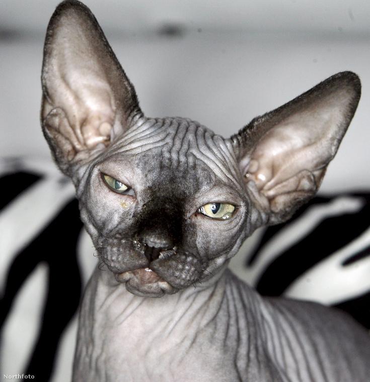 Ez itt a szfinx, a kanadai szőrtelen macska, nem összetévesztendő a Peterbalddal