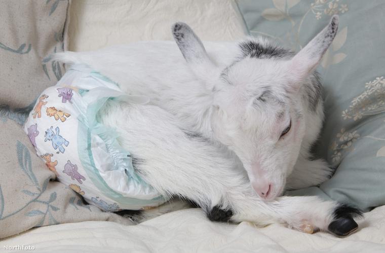Még nem szobatiszta, bár kérdés, hogy egy kecske valaha szobatiszta tud-e lenni.