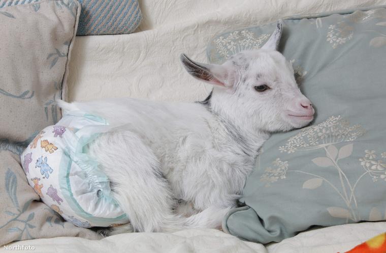A northamptonshire-i Rebecc Mineards fogadta be a sérült állatot, ami kutyák között nevelkedik, ezért képzeli magát is kutyának.