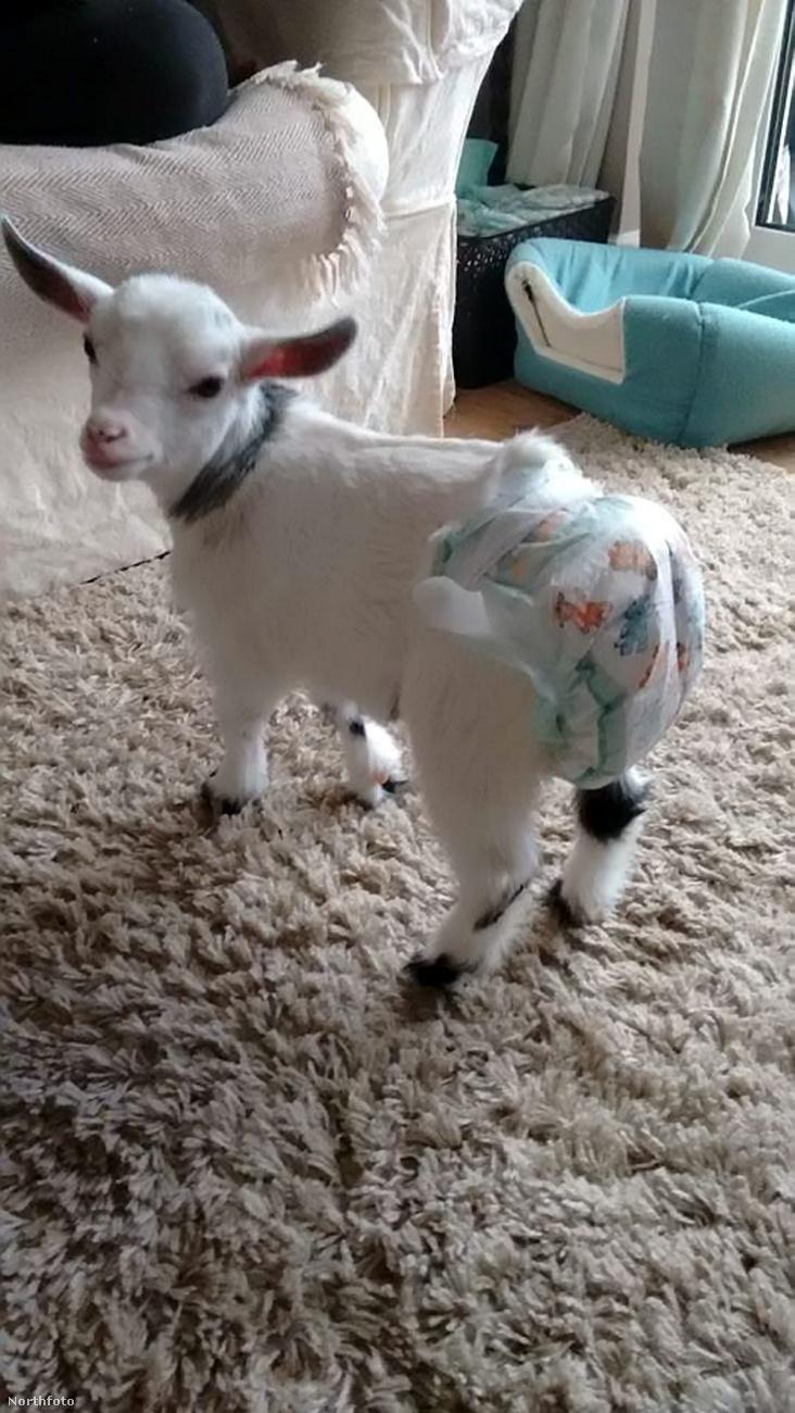 Ő itt Lily, a kecske, ami azt hiszi magáról, hogy kutya.