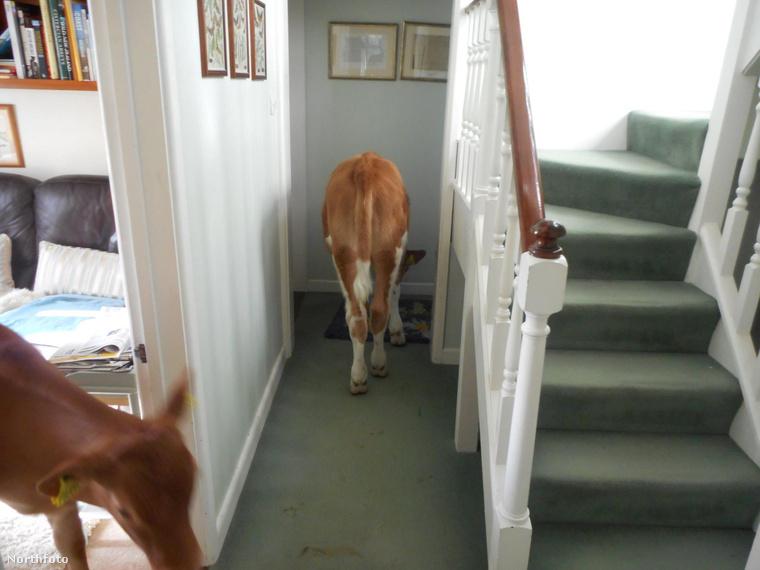 az állatok ugyanis nemcsak bejárták a házat, hanem