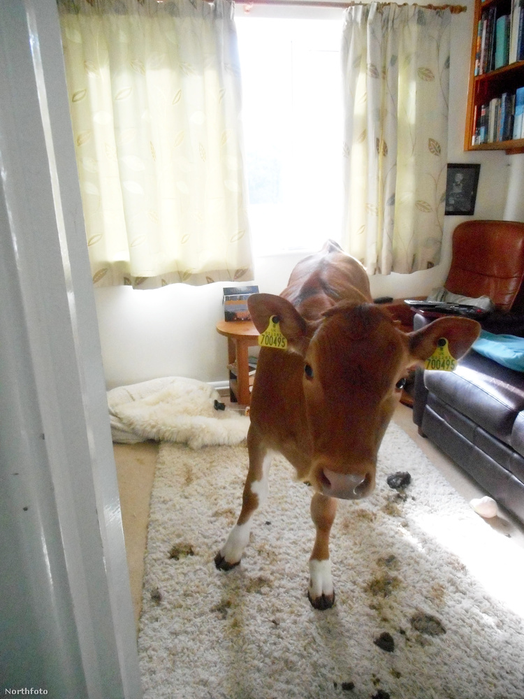 hogy két tehén randalírozik otthon.