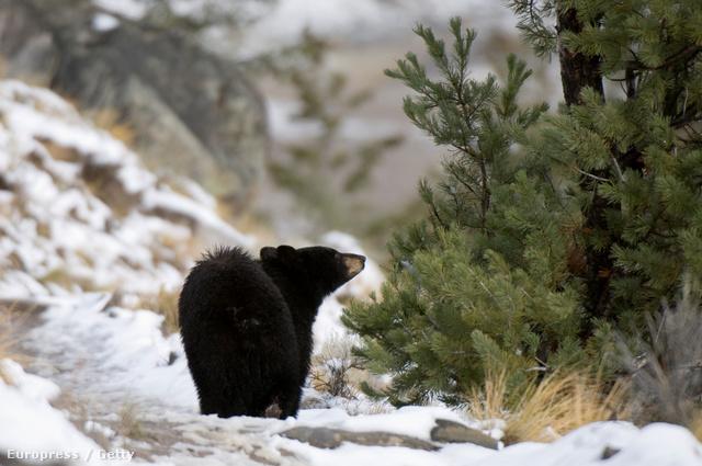 Maci Laci a Yellowstone Nemzeti Parkban