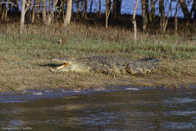 így néz ki egy megtermett nílusi krokodil