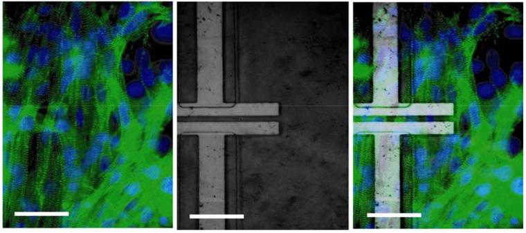 A kutatók zölddel jelölték az elektronikát, a többi normális sejt