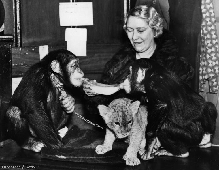 Nem csak a Lombardi családnak volt csimpánza