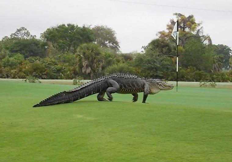 giant-alligator
