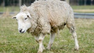 Dolly lett a bárányok korrekordere