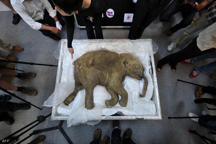 A világ legjobban fennmaradt mamutbébije egy hongkongi kiállításon