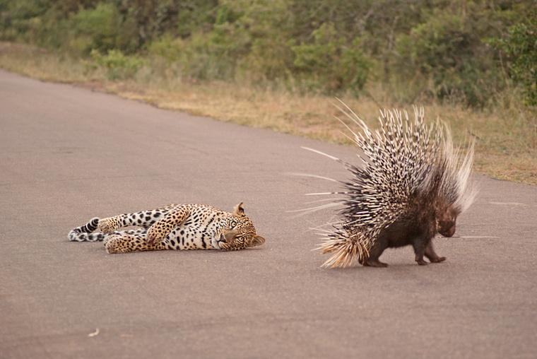 A leopárd a bozótból lesből támadt az úton átkelő sülre, de némi harcszerű próbálkozás után feladta.