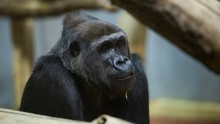 Bemutatott a gorilla a tapló haverjának