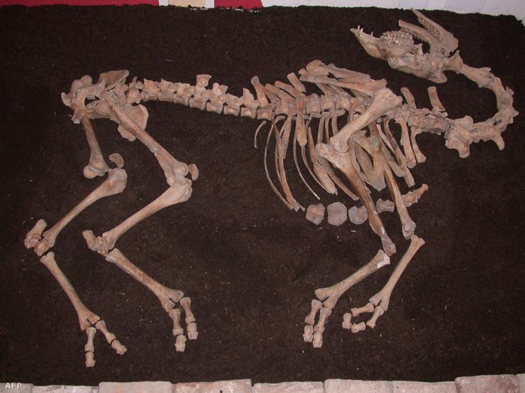 A bécsi állatorvosi egyetem által kiadott fotó 2012. május 2-én készült a leletről, amit 2006-ban találtak kutatók az ausztriai Tullnban.