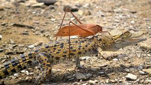 Krokodilon lovagolt egy szöcske, tényleg