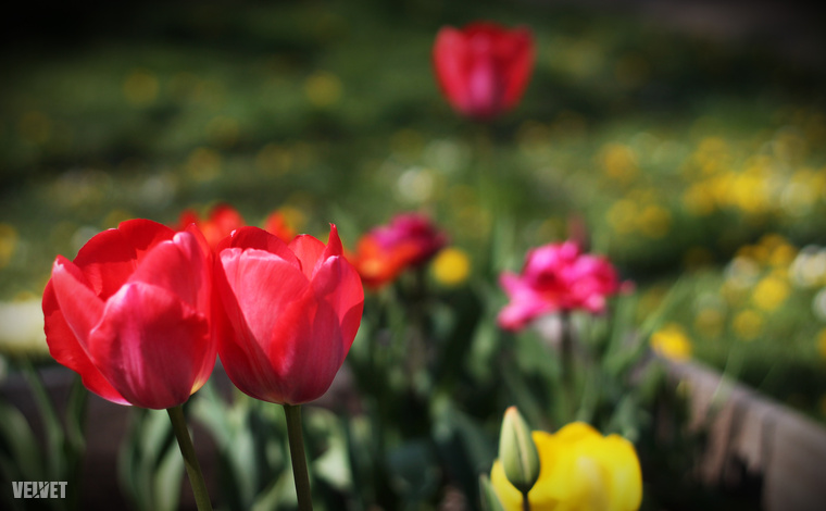 A Füvészkertben sétálva tulipánokkal is találkozhat.
