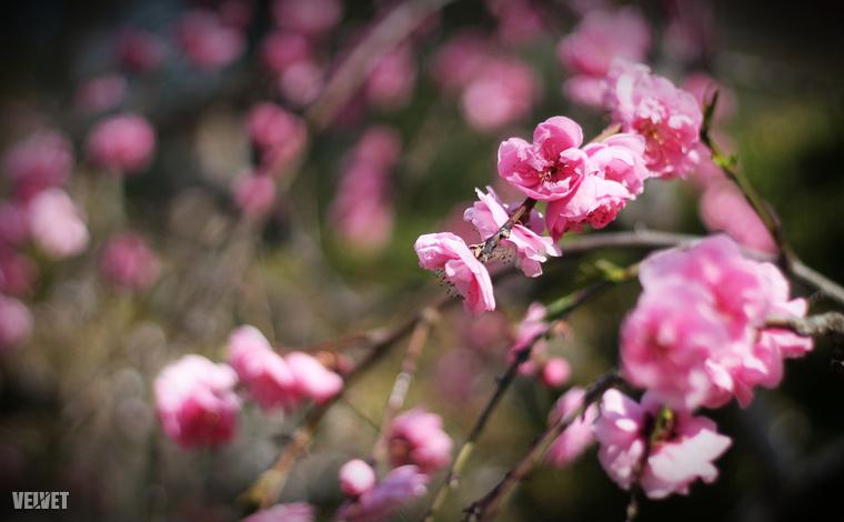 A Sakura ünnepet nyolcadik alkalommal rendezik meg az ELTE Füvészkertjében