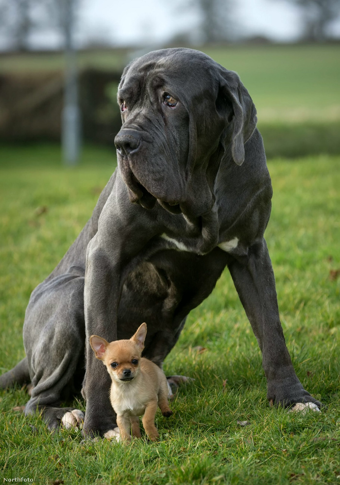 Aztán a megismerkedett Neróval, a mastiffal, akivel már az első pillanattól kedzve imádták egymást