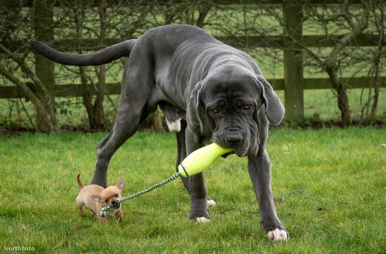 Az is igaz, hogy a mastiff egy nap több kaját eszik, mint Digby össz súlya, de ez még csak a játékban sem akadály, a nagytestű eb óvatosan játszik a kis mitugrásszal