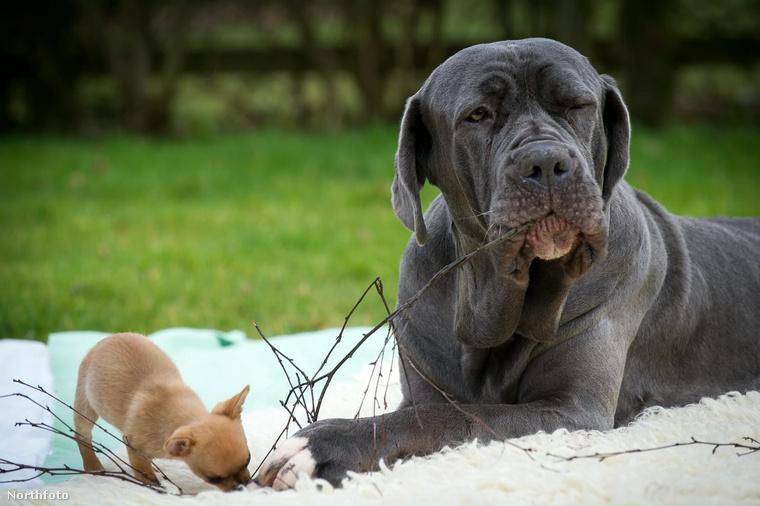 És bár a mastiff súlya százhúszszorosa Digbyének, és éppenséggel negyvenszer nagyobb, ez őket egyáltalán nem zavarja