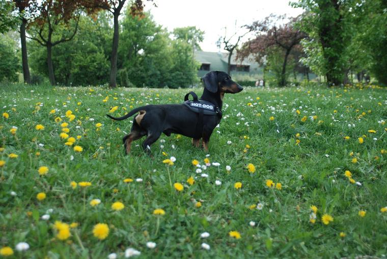 A hám, ami ezen a kutyán is látható, elég népszerű a tacskók között.
