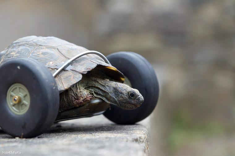 Mrs T., a teknőslány nem csak azért érdekes, mert állítólag 100 éves, de azért is, mert mellső lábai helyén kerekek vannak